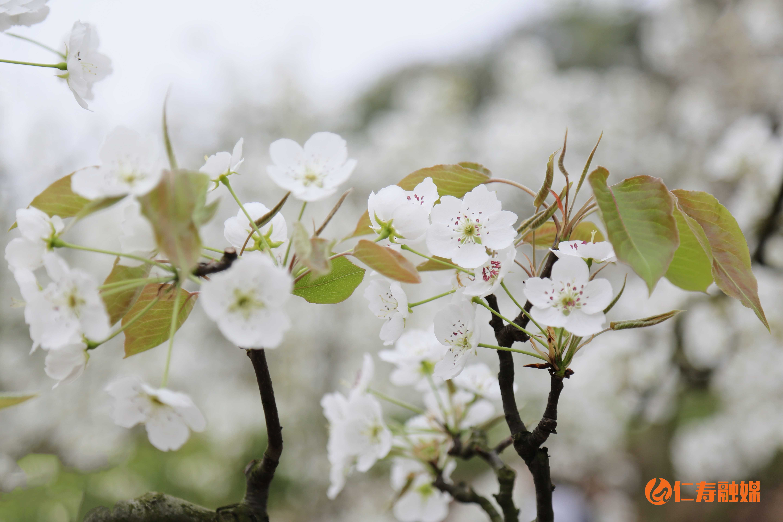 曹加镇万亩梨花迎春绽放